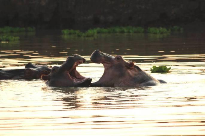 Hippo Heart